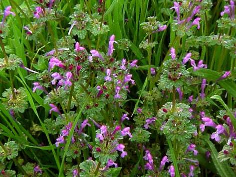 henbit patch