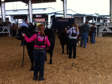 calf show ring