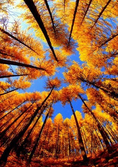 autumn tall trees